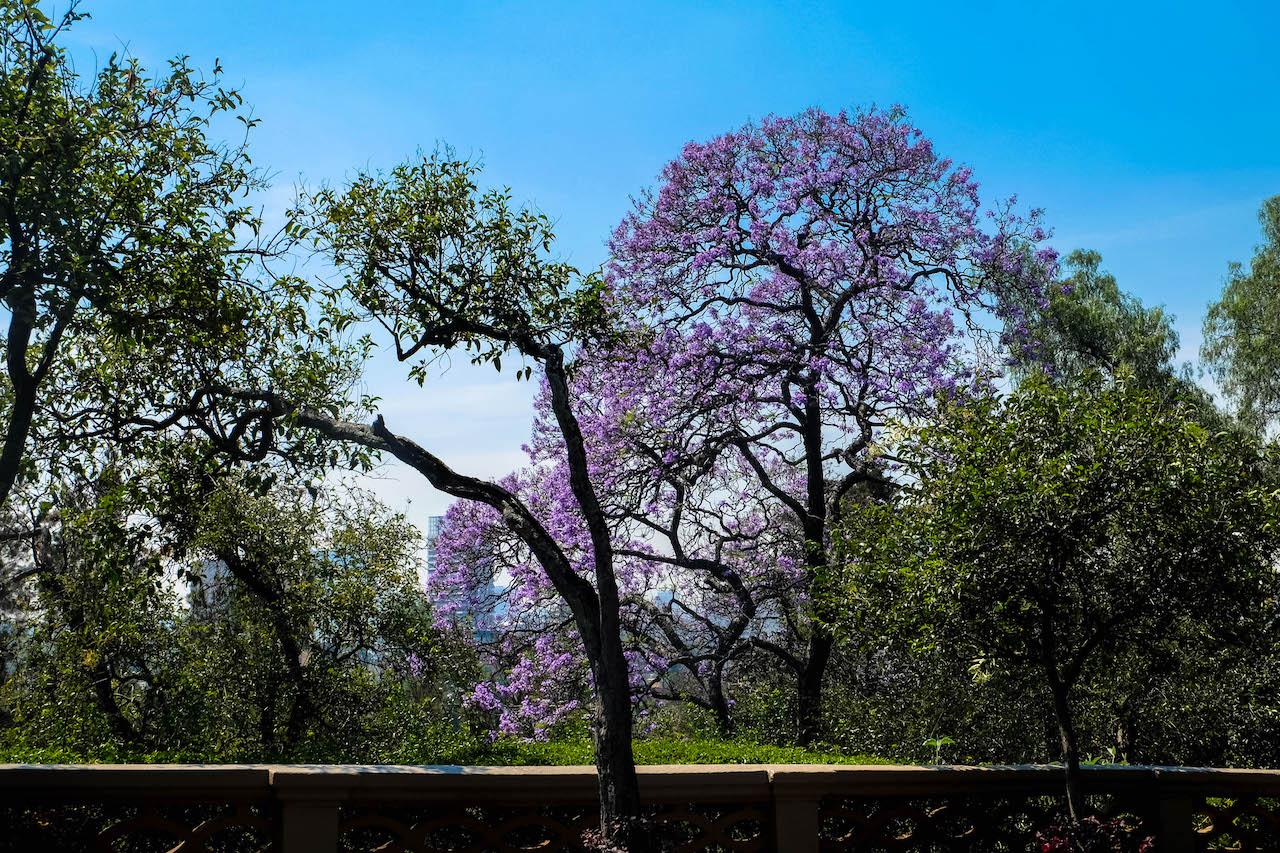 arbre chapultepec mexico mexique