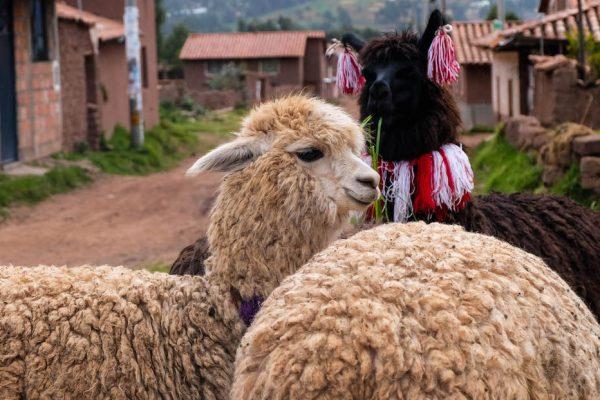 lama cuzco perou