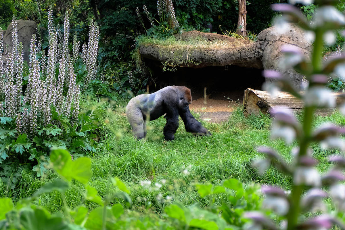 gorilla melbourne zoo