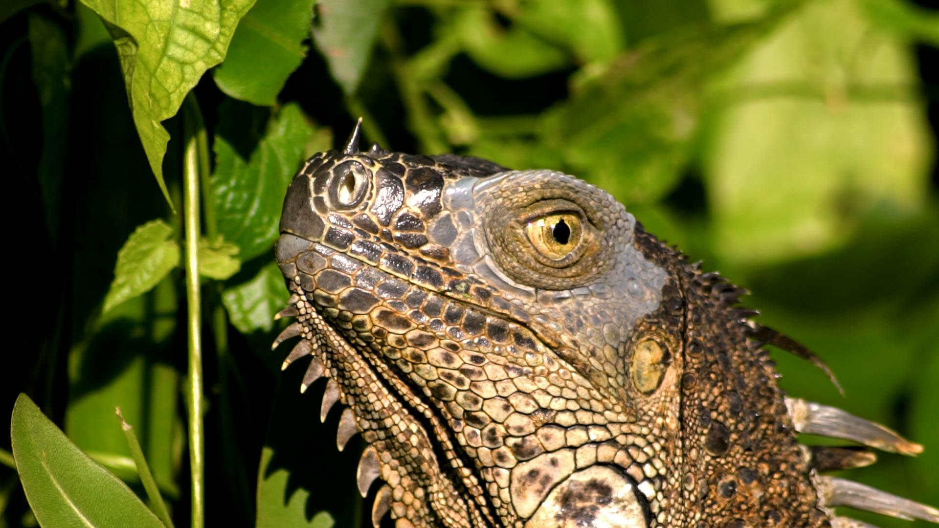 costa rica faune iguane