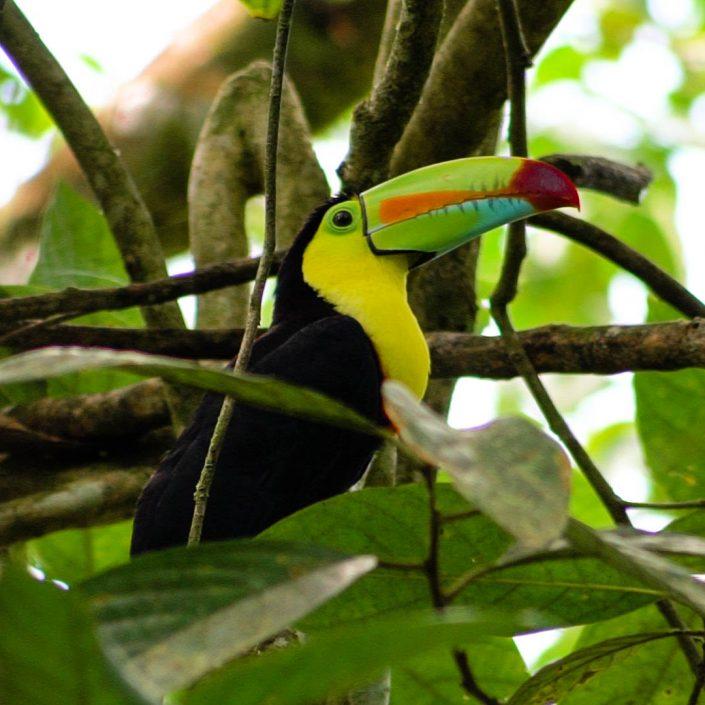 oiseau tortuguero costa rica
